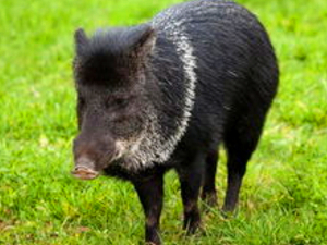 南京一野猪闯进医院 野猪成精闯进闹市咬伤