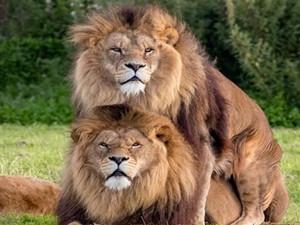 两头雄狮同性交配 动物也有同性恋吗?