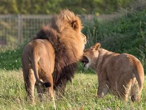 两头雄狮当众交配 动物界也存在同性恋情况