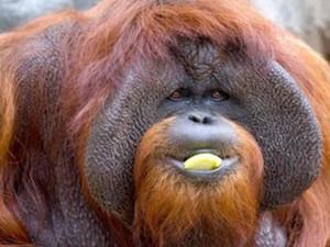 上过大学的红猩猩去世 临终遗愿令人难过不已