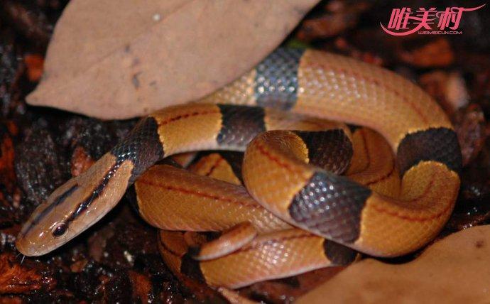 全球最美蛇