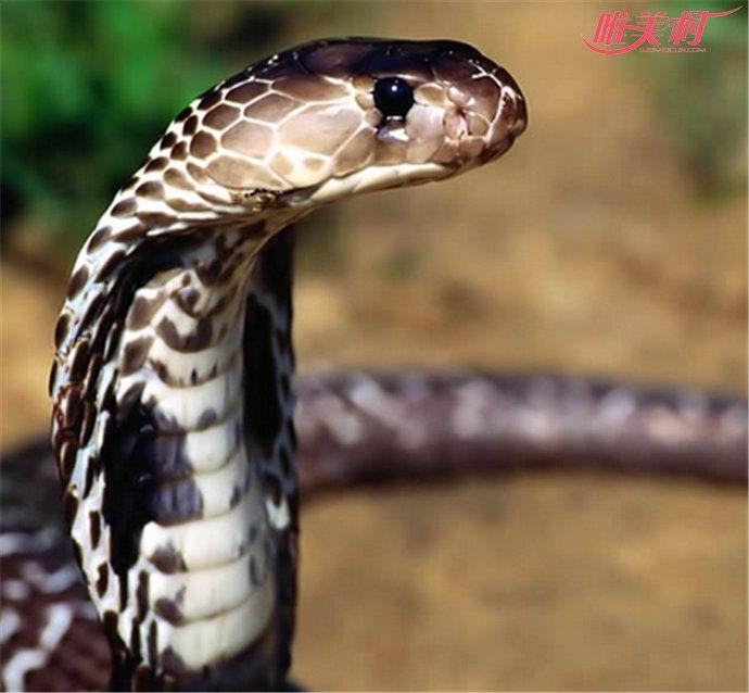四川发现神奇独角蛇