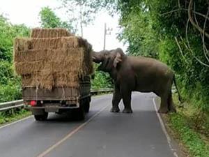 泰国一大象在路边打劫 开心把玩劫来的干草司机趁机逃之夭夭