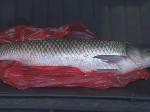 神秘怪鱼流入长沙市场 一场乌龙吓坏众人鱼