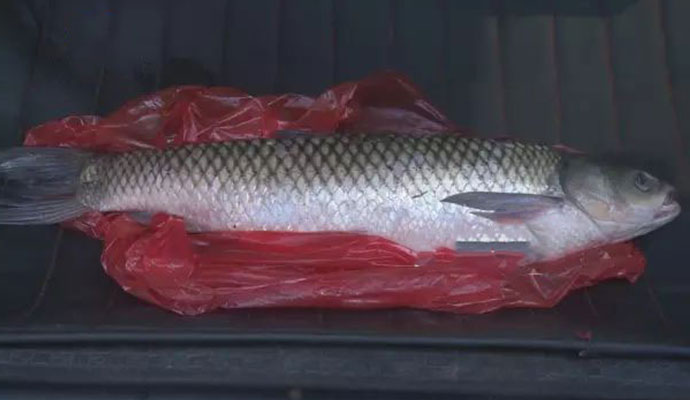 神秘怪鱼流入长沙市场