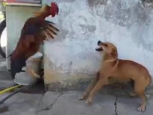 巴西上演鸡狗对决 现场殊死之战令人哭笑不得最终鸡赢了