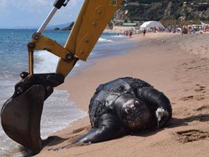 巨型海龟误食塑料垃圾死亡 长达2米重700公