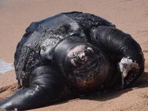 700公斤海龟误食垃圾死亡 保护环境可谓迫在