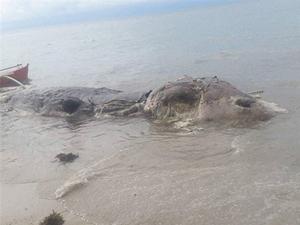 海岸惊现怪物尸体 身长近10米堪比一架战斗机令人错愕