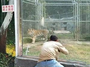 男子动物园里挑逗老虎 无视提示牌挑衅老虎花样作死