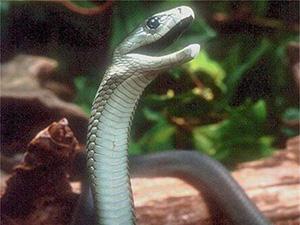 直播逗弄毒蛇被咬 自寻死路引人唏嘘生前以展示危险物种出名