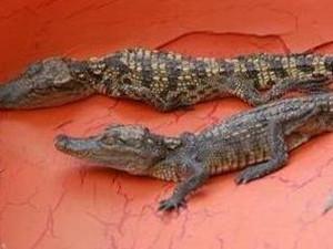 四川78条鳄鱼出逃 仍有5条在逃恐对当地生态