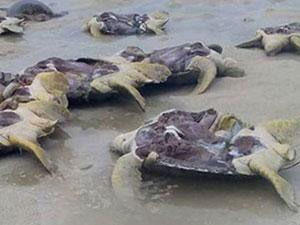 海龟遭剖腹取卵后丢海滩 被人活生生剖腹取