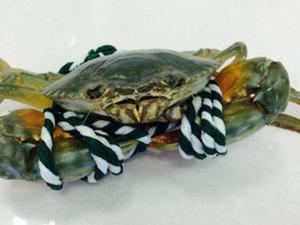 野生青蟹王被做成粥 重量达到3.2斤十分罕见
