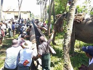 缅甸河里现巨型古董 动用大象和水牛才得以