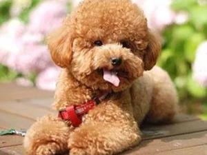 女子泰迪被公婆弄丢 上演一出因狗拒婚大戏