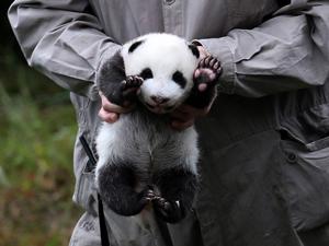 2017新生熊猫宝宝集体出街 可爱呆萌让网友
