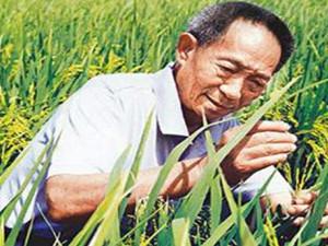 水稻和姚明一样高 离不开国宝级科学家袁隆平院士