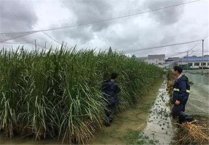 水稻和姚明一样高