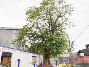 湖南现珍稀青檀树 为宋朝时期所种至今已千年令人瞠目结舌