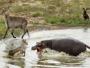 非洲羚羊三次逃脱 前后被三种动物视为美餐