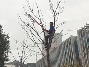 老人活像美猴王 家种上百棵树爬树剪枝四十