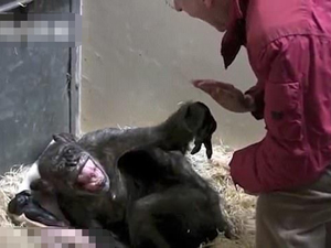 59岁黑猩猩临终前绝食 见到相伴45年的饲养员打起精神道别