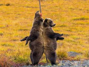 美洲棕熊背靠背挠痒痒 表情呆萌背靠背如情侣一般在看风景