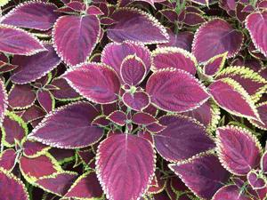 吃紫苏有什么好处 漂亮的外表下蕴藏巨大的功效