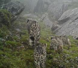 四川首次拍到4只雪豹 母亲带着孩子萌化众人