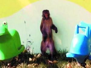 猴子夫妻进驻幼儿园 房顶上嬉戏还扭打保安