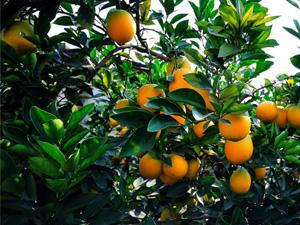 深山里长出黄金果 脐橙汁多味美短时间内六