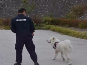 走失萨摩耶主动报案 狗狗的聪明程度有没有惊呆你