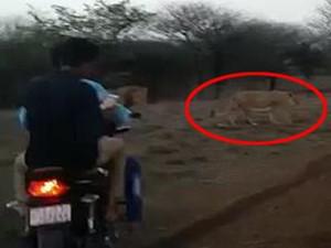 印度4名男子骑摩托追狮子 被惊吓的竟然是狮子们