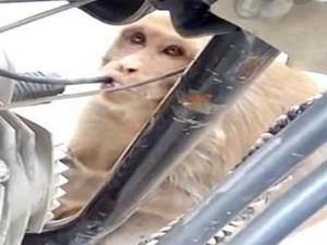 猴子专偷喝摩托车油 特殊癖好疑似患有异食症