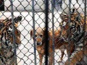 动物园用狗喂老虎 引来网友们的热烈抗议