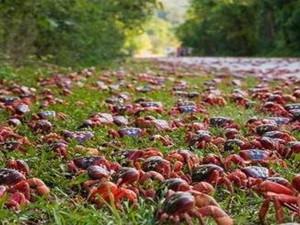 澳洲数百万红蟹横行马路 红蟹在当地为什么没人吃