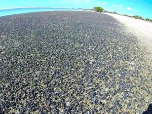 百万海螺占海滩 离奇上岸吓坏众人现场震惊