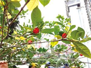 小区栀子花树结红果 纵然很美但此景极为罕见令人惊叹不已
