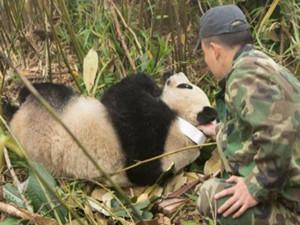 成功回捕野化大熊猫 熊猫野外能自主生存吗