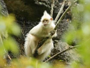广西现白化黑叶猴 白色毛发与众不同颜值高
