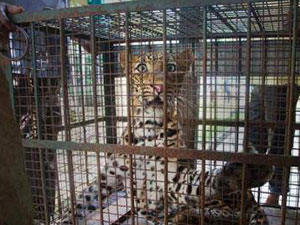 """广州1只豹子出逃 豹子向往自由""""越狱""""后被抓回"""