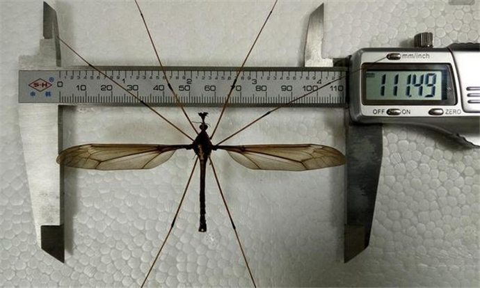 最大的蚊子