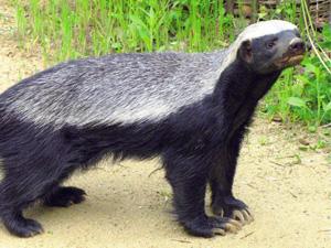 平头哥蜜獾为什么厉害 社会平头哥原来是它这个梗火了