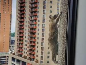 小浣熊爬摩天大楼 曝事件经过徒手爬二十多