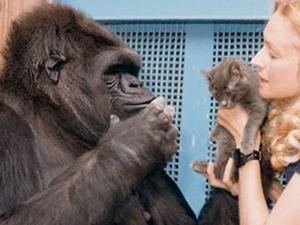 大猩猩可可去世 懂手语养过猫能力非凡