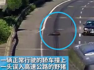 高速驾车撞死野猪 司机:车坏了我要野猪赔偿