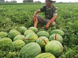 2万斤西瓜被砍烂 全家指望被其毁了瓜农现场哆嗦泪崩