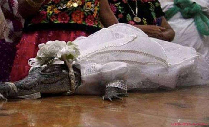 每年娶一条鳄鱼为妻