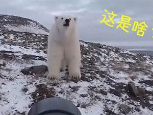 摄影师徒手吓走北极熊 凶猛北极熊露怂样蜜汁互动可爱爆棚